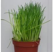 Bieslook plantje in pot