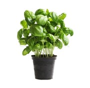 Basilicum plantje in pot