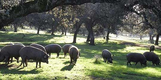 Iberico vlees
