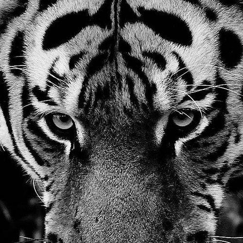 Deursticker tijger 90 x 200 cm