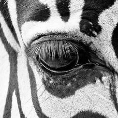 Deursticker zebra 90 x 200 cm