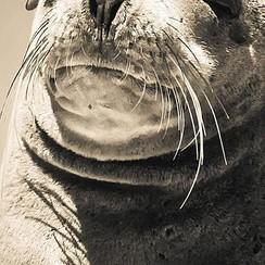 Deursticker zeehond 90 x 200 cm