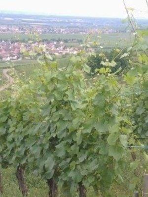 Vignoble des 2 Lunes Gewurztraminer Grand Cru Hengst