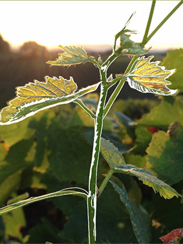 Chasselay Beaujolais is not dead 2018