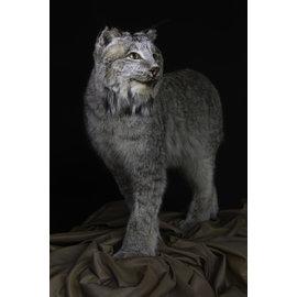 De Wonderkamer Lynx du Canada (Lynx canadensis)