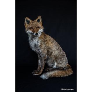 De Wonderkamer Fox (full mount)