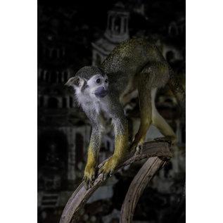 De Wonderkamer Squirrel monkey (Saimiri sciureus)