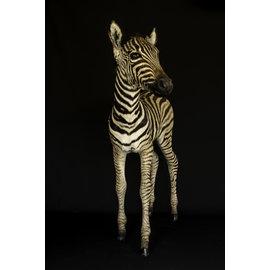 De Wonderkamer Zebra  foal (full mount)