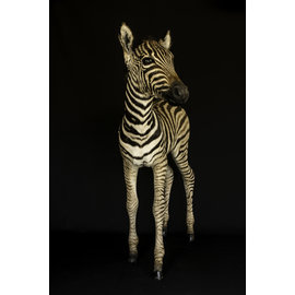 De Wonderkamer Zebra veulen (full mount)