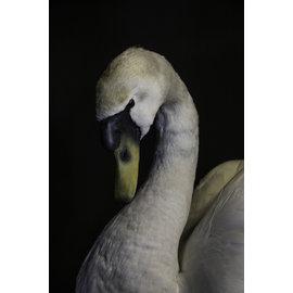 De Wonderkamer Mute swan (Cygnus olor)