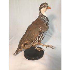 De Wonderkamer Red-legged partridge (Alectoris rufa)