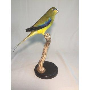 De Wonderkamer Elegant parrot  (Neophema elegans)