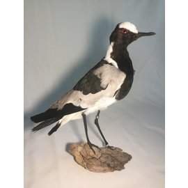 De Wonderkamer Blacksmith lapwing (Vanellus armatus)
