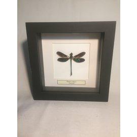 De Wonderkamer Demoiselle (euphaea refulgens)