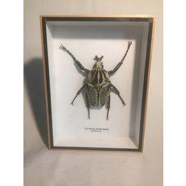 De Wonderkamer Goliathus (Goliathus albosignatus)