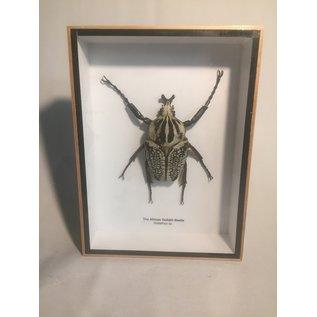 De Wonderkamer Goliathkever (Goliathus albosignatus)