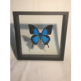 De Wonderkamer Blue Emperor (Papilio ulysses ulysses)