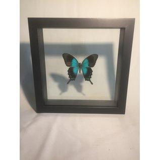 De Wonderkamer Blue Emporer (Papilio ulysses telegonus)