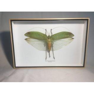 De Wonderkamer Giant false leaf grasshopper (Sasuma sp.)