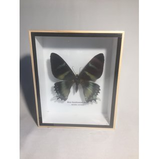 De Wonderkamer Blue swallowtail moth (Alcides Orontes)