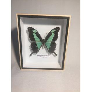 De Wonderkamer Apple green swallowtail (Papilio phorcas)