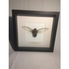 De Wonderkamer Empress cicada (pomponia imperatoria)