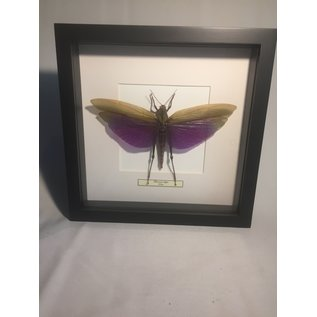 De Wonderkamer Titanacris albipes