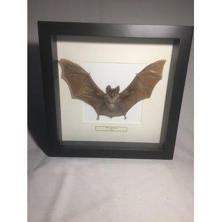 De Wonderkamer Horse shoe bat (Rhinolophus lepidus)