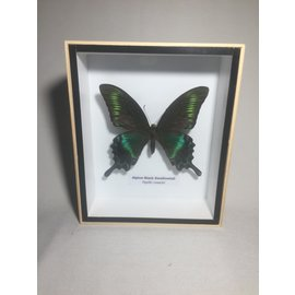 De Wonderkamer Alpine Black Swallowtail (Papilio maackii)