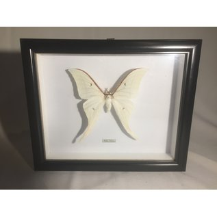 De Wonderkamer Indian moon moth (Actias selene)