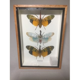 De Wonderkamer Lantaarnvliegen (Pyrops sp.)