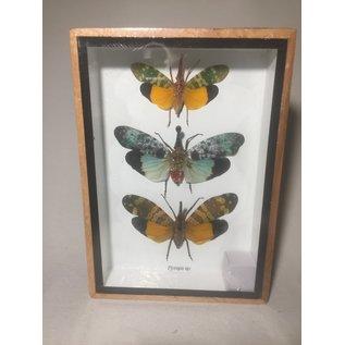 De Wonderkamer Lantaarnvliegen (Pyrops sp)
