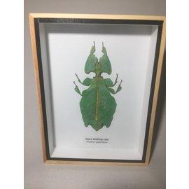 De Wonderkamer Wandelend blad (Phyllium giganteus)