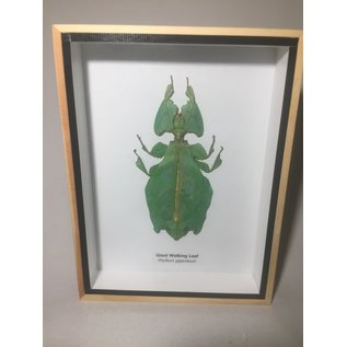 De Wonderkamer Giant leaf insect (Phyllium giganteus)