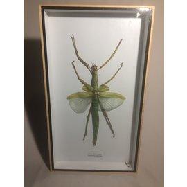 De Wonderkamer Stick insect (Eurycnema versirubra)