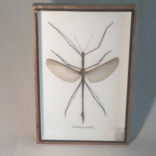 De Wonderkamer Wandelende tak (Tirachoidea westwoodii)