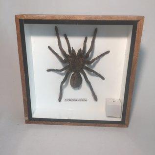 De Wonderkamer Tarantula (Eurypeima spinicrus)