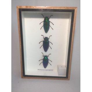 De Wonderkamer Emerald Jewel Beetle (Sternocera aequisignata)