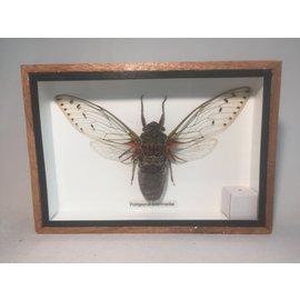 De Wonderkamer Cicadoidea (Pomponai interrmedia)