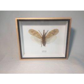 Lantern fly (Zanna nobilis)