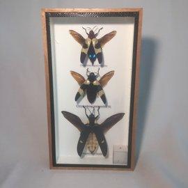 De Wonderkamer Scarabées (Chrysochroa buqueti, Chrysochroa mniszechii, Megaloxantha bicolor)
