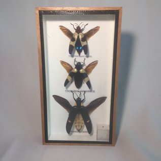 De Wonderkamer Kevers (Chrysochroa buqueti, Chrysochroa mniszechii, Megaloxantha bicolor)