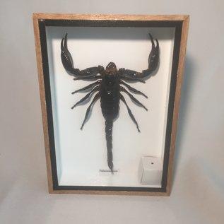De Wonderkamer Schorpioen (Palamnaeus)