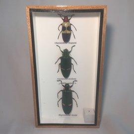 De Wonderkamer Collection scarabées (Chrysochroa buqueti, Catoxantha opulenta, Magaloxantsa bicolor)