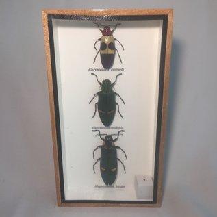 De Wonderkamer Collection beetles (Chrysochroa buqueti, Catoxantha opulenta, Magaloxantsa bicolor)