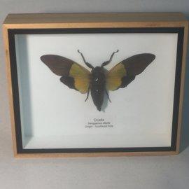De Wonderkamer Cicade