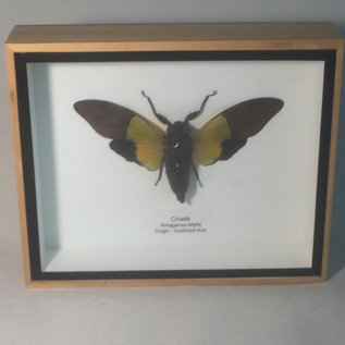 De Wonderkamer Cicade (Trengganua sibylla)