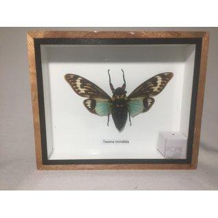 De Wonderkamer Cicade (Tasena stendida)