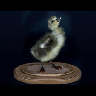 De Wonderkamer Cloche avec poussin d'une oie de Toulouse (Anser Anser domesticus)