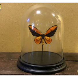 De Wonderkamer Glass dome with Wallace's Golden Birdwing (Ornithoptera croesus)